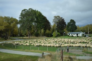 いつも以上の羊