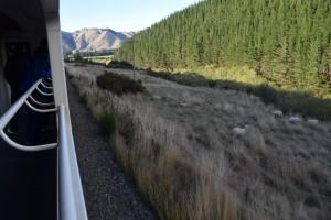列車の音にも平然としている羊