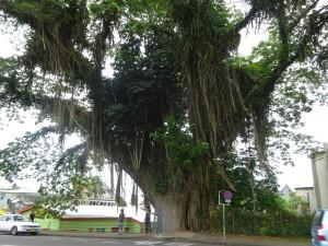 フィジーは町中にもこういう木がいっぱいあります