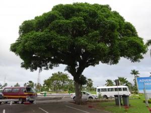 マンゴーの木の下に灰皿が